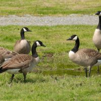 6,500 Miles • A Hypocritical Rant, Gray Geese and Throwing Spears